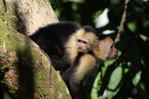 visit-costa-rica-capuchin-monkey