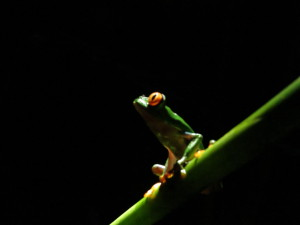 visit-costa-rica-frog