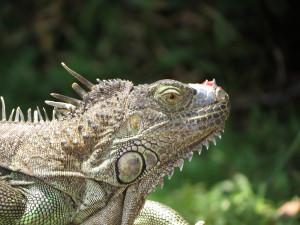 visit-costa-rica-iguana