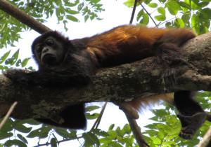 visit-costa-rica-howler-monkey