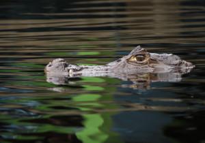 visit-costa-rica-caiman