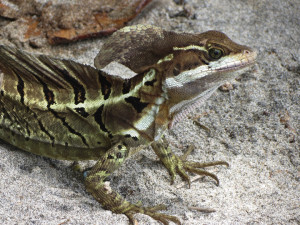 visit-costa-rica-south-pacific-lizard