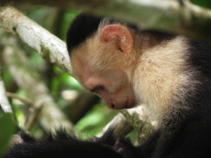 visit-costa-rica-south-pacific-corcovado-monkey