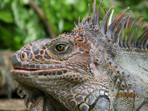 iguana in your costa rica holiday