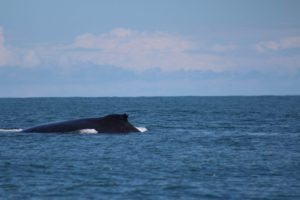 Whale-and-dolphin-watching-uvita-costa-rica-with-elemento-natural