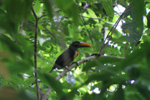 la-cangreja-costa-rica-toucan