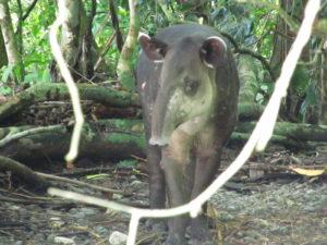 Tapir - Visit Costa Rica