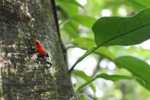 Red-frog-night-walk-sarapiqui